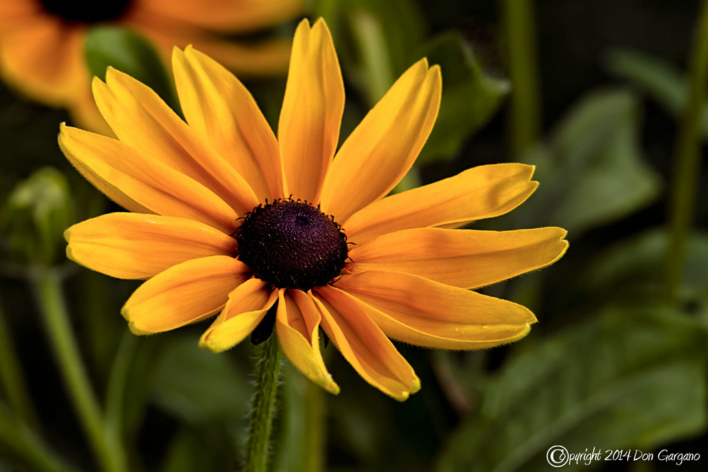 IMAGE: http://dongarganophotography.smugmug.com/2014-Photos/Flowers/i-R5QgQfC/0/XL/Black-Eye%20Susan-08-12-02cr%20-XL.jpg
